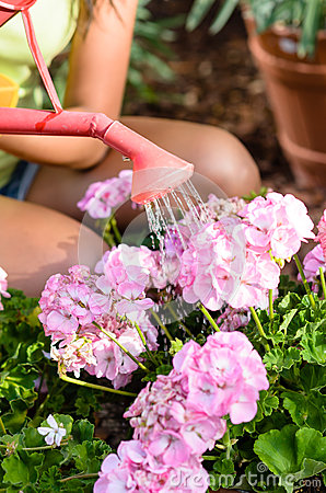 Watering pink flowers