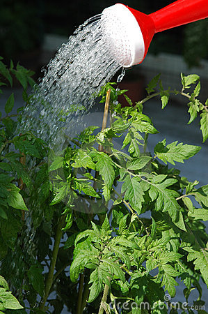 Free Watering The Tomato Plants Royalty Free Stock Photo - 348105