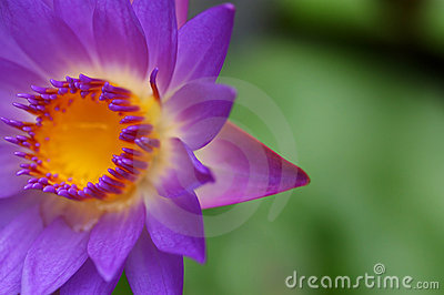 Waterlily III