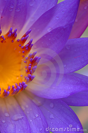 Free Waterlily IV Stock Photography - 55712