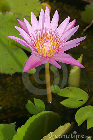 Waterlily Lotus Flower