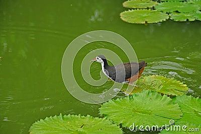 Watervogel en waterlelie in de vijver