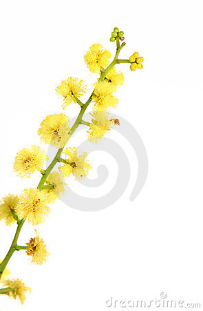 Free Wattle - Globular Inflorescence Closeup Stock Images - 1717744