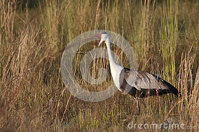 Wattled Crane In The Reeds Royalty Free Stock Image - Image: 25474116