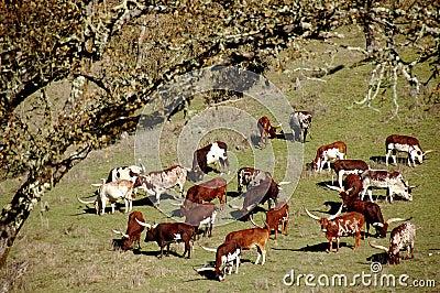 Watussi Cattle