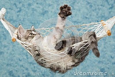Waving La perm kitten in hammock