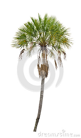 Free Wax Palm(Copernicia Alba)Palm Tree. Royalty Free Stock Photo - 31079175