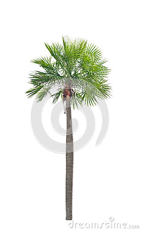 Free Wax Palm(Copernicia Alba)Palm Tree. Royalty Free Stock Image - 33139906