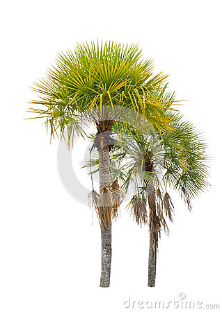 Wax palm(Copernicia Alba)Palm tree.