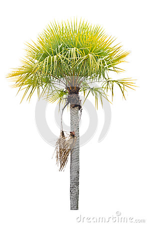 Wax palm(Copernicia Alba)Palm tree.