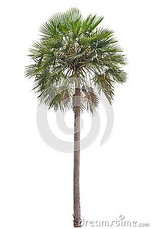 Wax palm(Copernicia Alba)Palm tree
