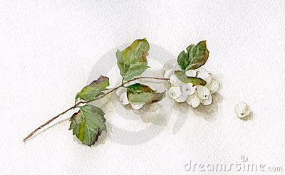 Waxberry watercolor drawing