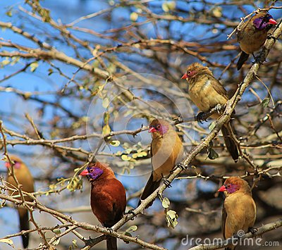 Waxbill, Violeteared - In company of girls