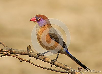 Waxbill, Violeteared - Sleeping Beauty