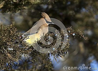 Waxwing кедра (cedrorum Bombycilla)