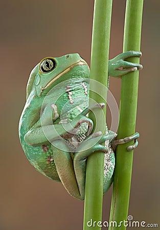 Waxy tree frog on stems