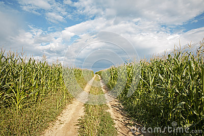 way on the field of maize