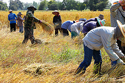 Way of life of Thai farmer in the harvest time Editorial Image