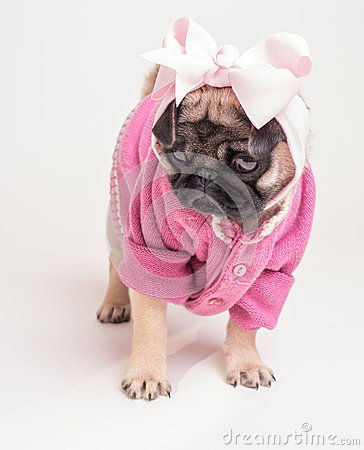 Wearing My Pink Sunday Best - Pug Puppy