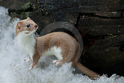 Weasel in the snow