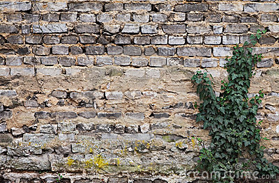 Weathered brickwall with poison ivy
