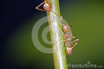 Weaver ant and aphid