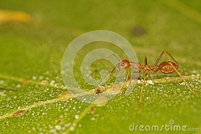 Weaver ant and scale insects