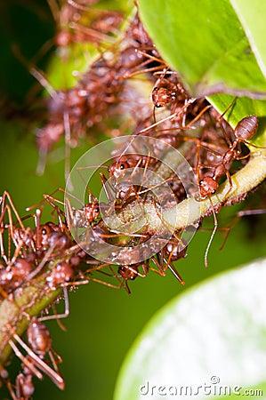 Free Weaver Ants Colony Royalty Free Stock Photos - 14008208