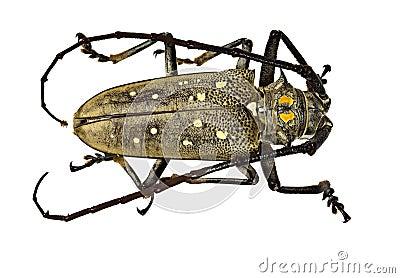 The weaver beetle (Lamia textor)