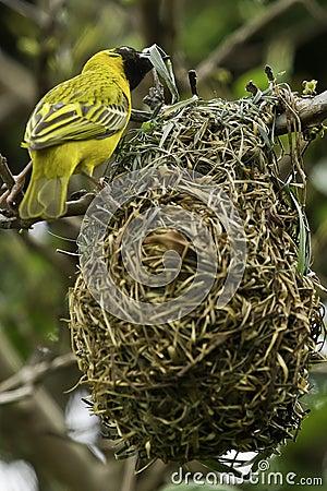 Free Weaver Bird Building A Nest Stock Photo - 40036700