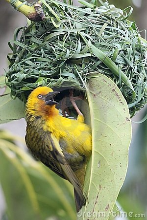 Weaver Bird at Nest