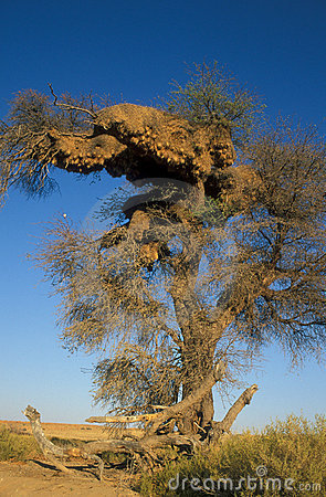 Free Weaver Bird Nest Royalty Free Stock Photos - 3810728