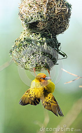 Yellow Weaver Bird On Nest Royalty Free Stock Photo ...