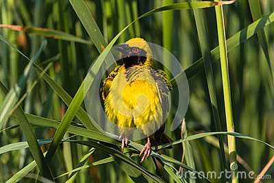 Weaver Bird Puffs Feathers