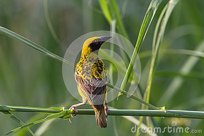 Weaver Bird Wetland