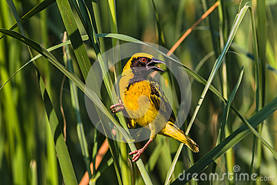Weaver Bird Wetland