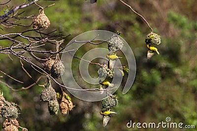 Weaver Birds Mating Season Nests