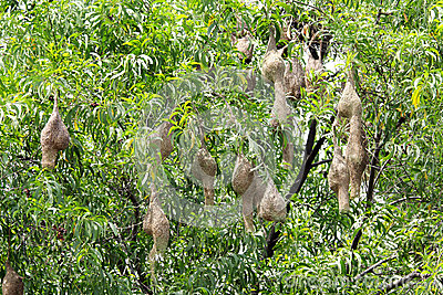 Weaver birds nests hanging on a tree