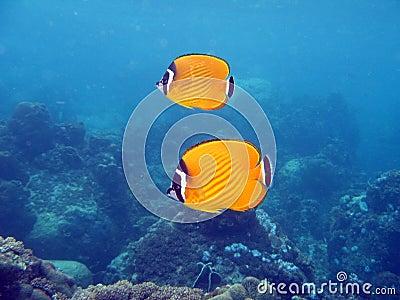 Weavers Butterflyfish - Chaetodon wiebeli