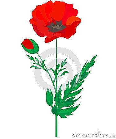 Red Poppy flower isolated on white background, vector illustration, EPS 10 Cartoon Illustration
