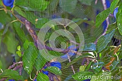Web de esfera da aranha