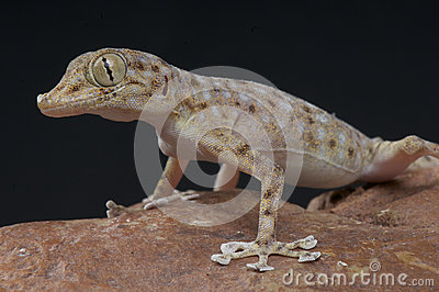 Web fingered gecko