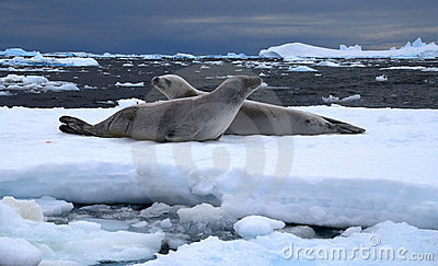 Weddel Seals
