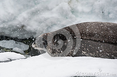 在海滩的Weddell密封