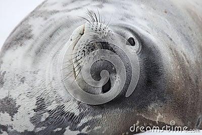Weddell Dichtung, Antarktik