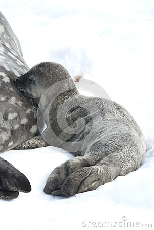 Weddell foki ciuć dojny lactating.