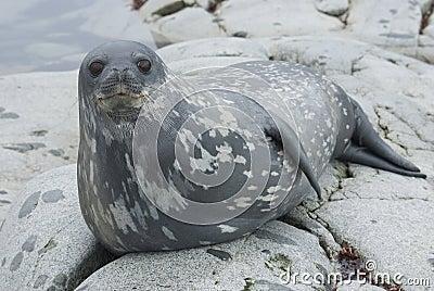 Weddell foki na skałach wyspy.