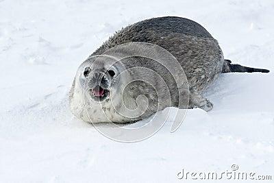 Weddell joven sella la llamada de la hembra en la nieve.