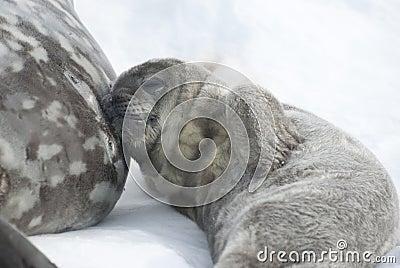 Weddell Roobbenbabies, die nach einer Mahlzeit stillstehen.