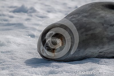 Weddell's Seal Royalty Free Stock Photography - Image: 17796307